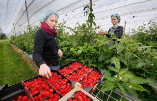 Arbeidsvoorziening grote zorg voor zachtfruittelers
