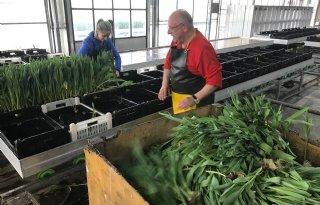 Tulpenmarkt crasht, kwekers houden hoop