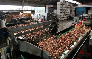 Schade+bloembollenhandel+kan+oplopen+tot+160+miljoen+euro