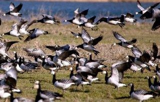 Nog maar weinig vogelgriep bij wilde vogels