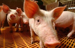 Rabobank%3A+impact+Afrikaanse+varkenspest+groter+dan+corona