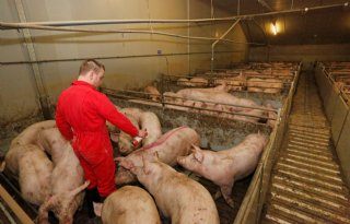 Vleesvarkensnotering Vion stijgt 7 cent