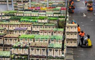 Bloemenexport+in+maart+ruim+een+kwart+lager