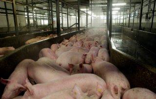 Amerikaanse+verwerkingscapaciteit+varkensvlees+verder+onder+druk