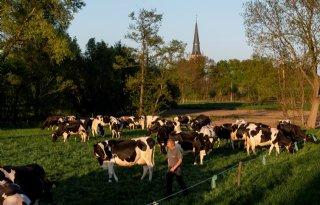 Koeien+van+Van+Asseldonk+na+dertien+jaar+weer+de+wei+in