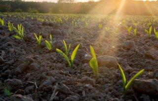 Met stokslabonen meer eiwit in de mais