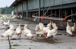 Risico op vogelgriep laag ingeschat