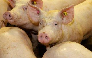 POV+verwacht+volgend+jaar+wekelijks+25%2E000+minder+varkens