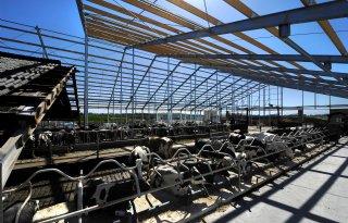 Koeien tijdelijk in openlucht vanwege verbouwing