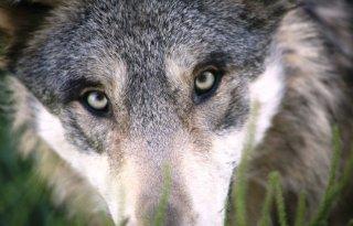 Hoe+werkt+het+brein+van+een+wolf%3F