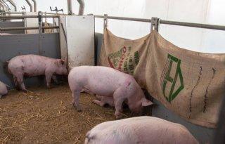 Varkenshouders+en+dierenartsen+maken+factsheet+over+hokverrijking