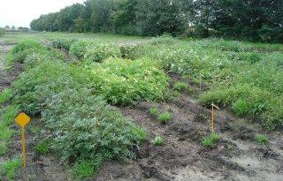 Wilde aardappel nodig voor nieuwe ziektevrije rassen