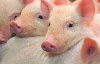 POV+lanceert+hitteprotocol+voor+varkenshouderij