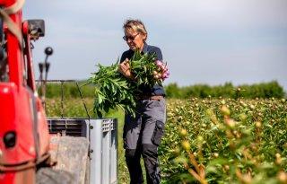 Betuwse+kweker+oogst+pioenrozen