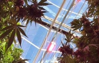Drie+Amerikaanse+Staten+legaliseren+gebruik+cannabis