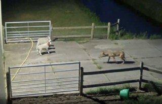 Nog geen verplichting voor nemen anti-wolfmaatregelen