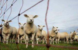 Maatwerk+nodig+voor+bescherming+vee+tegen+wolf+Groote+Heide