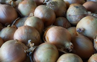 Jaarrond+biologische+uien+uit+Flevoland