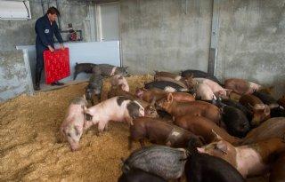 Eerste varkens bevolken nieuwe Livar-stallen
