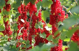 Fruitverwerker Hortifrut koopt partner Atlantic Blue