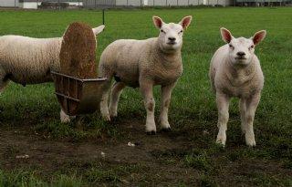 Online+Texelaarshow+in+plaats+van+schapenfokdagen