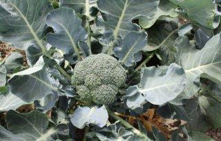 Telers+zoeken+klimaatbestendige+broccoli