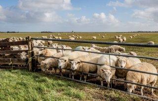 Waddenfonds+steunt+behoud+Texels+schaap