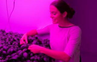 Delphy+oogst+eerste+basilicum+uit+Vertical+Farm