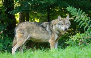 Duitse+organisaties+willen+op+wolf+kunnen+jagen