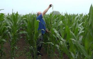 Limburgse mais heeft regen nodig