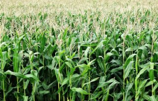 Canadezen+krijgen+subsidie+voor+mais+als+koolstofbinder