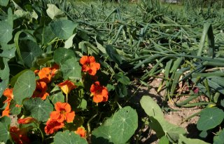 'Insecten in lokplantstroken geen oplossing tegen trips'