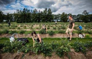 Eerste oogst blauwe bessen bij zonnepark Vlagtwedde