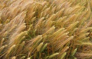 Verruimde+norm+voor+beschadiging+zaden+zomergerst
