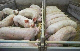 Milieubelasting+omlaag+door+precisievoeding+varkens