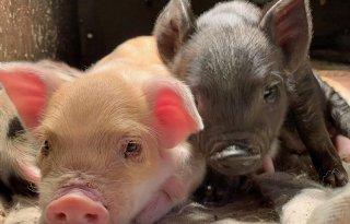 Varkenshouders+verkopen+vlees+van+bijzondere+rassen