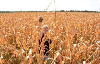 Mais gortdroog door gebrek aan regen