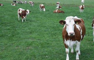 Weer+meer+Fries+roodbonte+koeien+geregistreerd