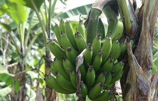 Wageningse expertise gebruikt voor resistentie bananen