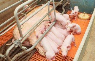 Vlaamse+varkenshouderij+schreeuwt+om+hulp