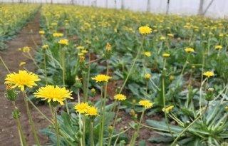 Planten+kunnen+zaden+vormen+zonder+bevruchting