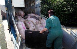Afrikaanse+varkenspest+stemt+markt+nerveus