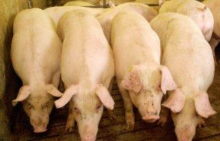 Varkensprijs+zakt+door+Afrikaanse+varkenspest+in+Duitsland
