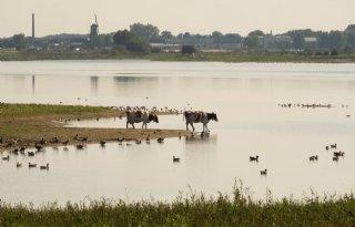 Zorgen+om+vee+op+vervuild+rivierslib+in+uiterwaarden