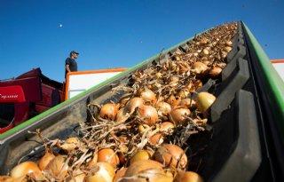 Middenprijs uien fractie hoger dan vorig jaar