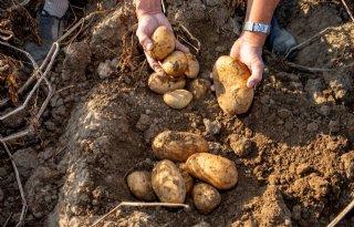 Aardappelmarkt+vertoont+weinig+dynamiek