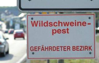 Tachtig+Afrikaanse+varkenspestbesmettingen+Duitsland