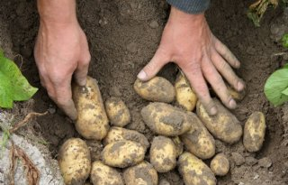 Trage aangroei zorgt voor magere aardappeloogst België