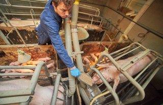 Vezels+in+varkensvoer+zijn+populair