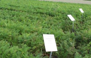 Sterke peenrassen ook zonder fungiciden goed te telen